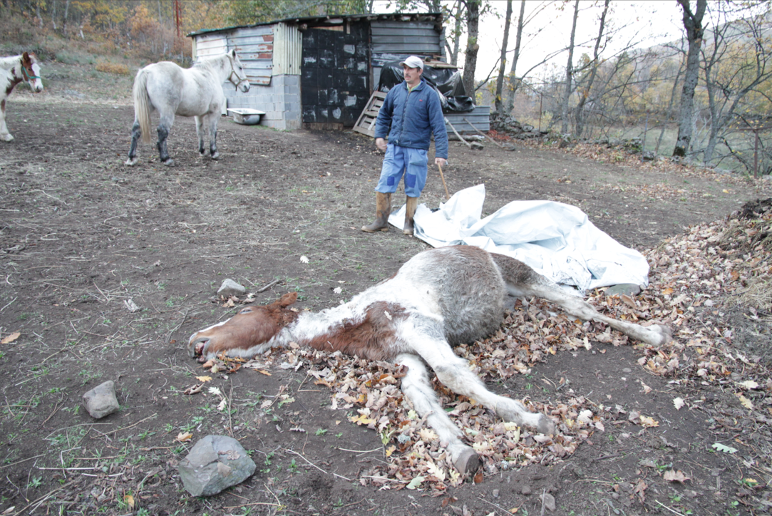 ¿Intereses ocultos detrás de la muerte de cientos de caballos en Laciana?