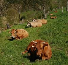 La Junta de CyL da aire a los ganaderos y autoriza 80 millones para vacuno